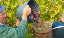 Doživite trgatev posebne vrste. Po aperitivu in dobrem bograču se boste odpravili v vinograd, na veselo trgatev z igrami, stiskanjem, pokušnjo mošta in starega vina. 2 dni, 125 EUR.