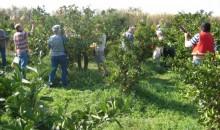 V mesecu oktobru se že tradicionalno odpravljamo v dolino Neretve, na prijetno druženje ob obiranju mandarin.
